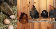 Chicken Race, Mat, Ankor, Rooster, Animals, Animales, Animaux, Animal, Animais