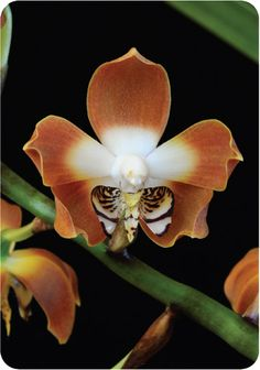 neomoorea - irrorata  Orchid Photo Cards - Living Tree Orchid Essences