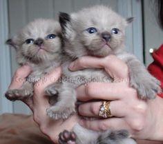 Rare Seal Mink ragdoll kittens