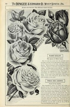 Our new guide to rose culture : 1900