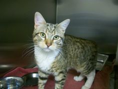 Cat found on 12/2/13 A98724  Brown and white tabby cat found at Nuestra Ave and Sutter Ave 94086