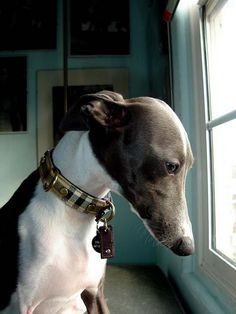 Oh my.. How I do love Italian Greyhounds. Such beautiful dogs.