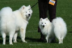 American Eskimo is best my friend. #AmericanEskimo #dogs