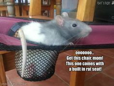 if rats helped us go chair shopping