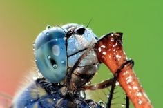 """""""Water droplets on dragonfly's compound eyes."""" by Agnisoonu"""