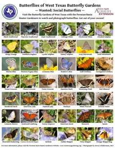Butterflies Of West Texas Butterfly Gardens