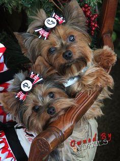 Yorkie, Yorkshire Terrier, Dog Priscilla Lane aka Cilla and Mom Georgia Belle Yorkies, Yorkie Puppy, Samoyed Puppies, Teacup Yorkie, Lab Puppies, Chien Yorkshire Terrier, Cute Puppies, Cute Dogs, Yorshire Terrier