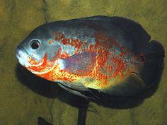 l'oscar ( astronotus ocellatus ) un poisson attachant qui ne laisse jamais indifférent ...