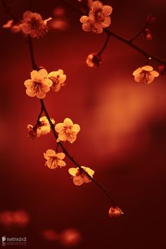 crescentmoon06: Spring Prunus by Cao Nam on 500px