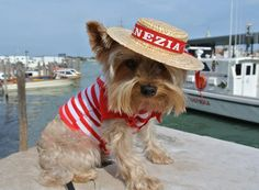 Luca, my 5 lb Yorkie in his gondolier's outfit in Venice.