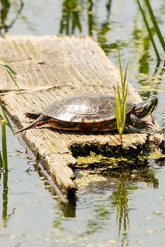 A painted turtle suns itself on a cool summer afternoon in Horicon Marsh, Wisconsin.