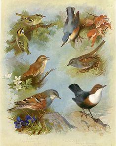 Firecrest Wren, Goldcrest, Sparrow Dipper