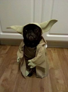 This pug has been dressed up as Yoda from Stars Wars and doesn't it suit? This black cute pug looks adorable. Another very funny pug meme to grace the internet! Funny Animal Pictures, Dog Pictures, Funny Animals, Cute Animals, Funny Photos, Bizarre Animals, Quote Pictures, Pet Photos, Funniest Pictures
