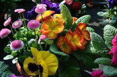 Sirôtka veľkokvetá a ďalšie jarné kvety