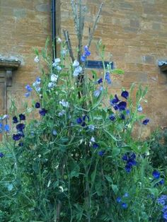 Spencer sweet peas still in full flower at Althorp The Last Princess, Princess Diana Family, Love Flowers, Wedding Flowers, Vacation Wishes, Spencer Family, Sweet Peas, Manor Houses, Garden Plants