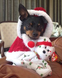 min pin, christmas puppy