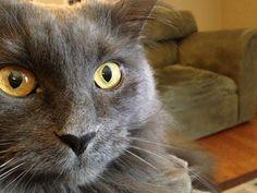 Nebelung Cat Looks just like my Rowdy :)