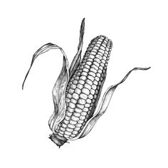Corn illustration by Swindler & Swindler