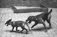 Tame fox followed by an Airedale. c. 1910