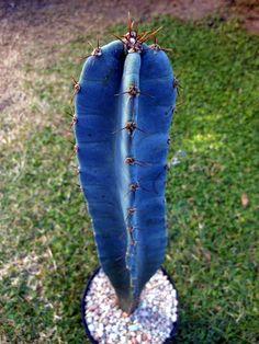 Cereus Stenogonus - Entre pétalos y espinas...: CEREUS