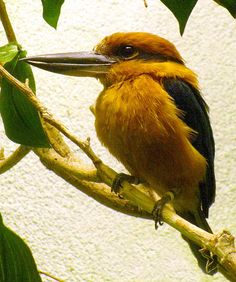 Extinct in The Wild: Guam Micronesian Kingfisher (Halcyon cinnamomina cinnamomina) at the National Aviary, Pittsburgh