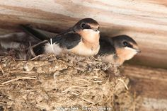 swallows nest | Two baby barn swallows in the nest | Norm Eggert Photography
