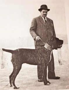 Cane Corso, colección C.H. Cane Corso Italian Mastiff, Cane Corso Mastiff, Cane Corso Dog, Mastiff Dogs, Rottweilers, Pitbulls, American Bulldog Scott, Neapolitan Mastiffs, Giant Dogs