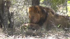 Lion Pride, Cubs, Lions, Thats Not My, Animals, Lion, Animales, Bear Cubs, Animaux