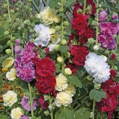 Hollyhock Seeds -Summer Carnival Hollyhock Mix - Alcea Rosea ,AAS Winner ! Blossoms in every shade of pink, rose, red, and yellow!""