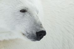 King of the Arctic by Marsel van Oosten on 500px