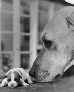 Extremely small dogs next to extremely large dogs would become a thing years later. | 27 Puppies Of The Past Demonstrating The Internet Memes Of Today