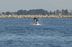 Whale watching tour out of Anacortes,Washington....hit or miss..no guarantees...got more than moneys worth this day