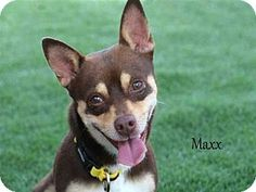 Fort Myers, FL - Chihuahua Mix. Meet MAXX, a dog for adoption…