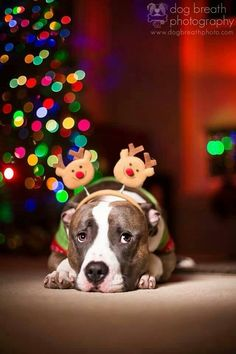 Christmas Card Idea / Pet Photography / Christmas Tree / Prop Ideas / Pitbull Puppy