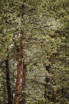https://flic.kr/p/GjtvtU | 20160417-Snow showers. | #dakota #POTD #Day1569 #sdwx #BlackHills #SouthDakota #snow #pine