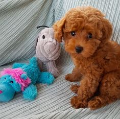 64 Ideas Dogs And Puppies Poodle Puppy Obedience Training, Basic Dog Training, Training Your Puppy, Training Dogs, Cute Puppies, Dogs And Puppies, Fluffy Puppies, Corgi Puppies, Mini Poodles
