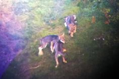 A second pack of wolves has been spotted in Switzerland. They were seen in the southern canton of Ticino. A group of the animals were ...