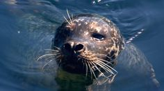 """Scientists say they have solved the mystery of one of the most extreme adaptations in the animal kingdom: how marine mammals store enough oxygen to hold their breath for up to an hour. The team studied myoglobin, an oxygen-storing protein in mammals' muscles and found that, in whales and seals, it has special """"non-stick"""" properties. This allowed the animals to pack huge amounts of oxygen into their muscles without """"clogging them up""""."""