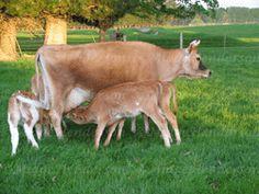 8 Best Cows Images Cow Mini Cows Cattle