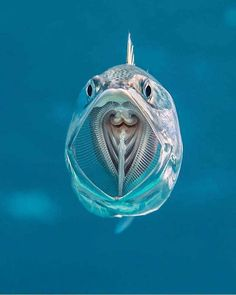 "A See-Through Striped Mackerel Via Underwater Photographer Alex Mustard. ""Striped mackerel are filter feeders opening their cavernous mouths as they swim and sieving zooplankton from. Beautiful Sea Creatures, Deep Sea Creatures, Animals Beautiful, Underwater Creatures, Underwater Life, Filter Feeder, Fauna Marina, Tier Fotos, Sea And Ocean"