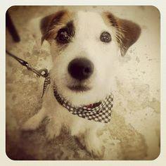Jack Russell Terrier - Łatka ❤️