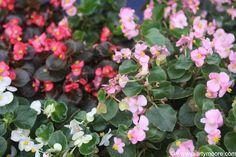 Annuals & Bedding Plants for  the Desert Southwest Garden
