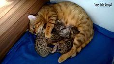 Pisica bengaleza kitten | Felisbengal http://felisbengal.ro