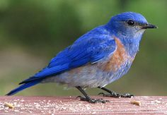 Western Bluebird...lots of them in our neighborhood. They love our tall oak trees.