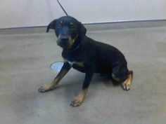 KING-ID#A677844    My name is KING.    I am a male, black and tan Rottweiler mix.    The shelter staff think I am about 8 months old.    I have been at the shelter since Oct 12, 2012.