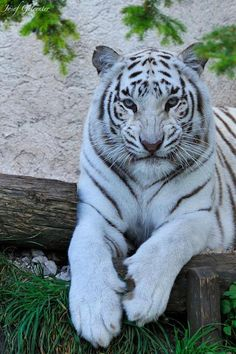I have always been obsessed with White Tigers! They are absolutely beautiful!