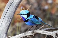 Australia - Google+... There are three different varieties of Splendid Fairy Wren that live in three areas of Australia - south-western, central and inland eastern Australia. (Photo: Tim McKellar/38 South East Tours)