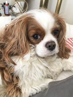 Mum needs to brush my ears Cavalier King Charles, Ears, Animals, Animales, Animaux, Ear, Animal, Animais