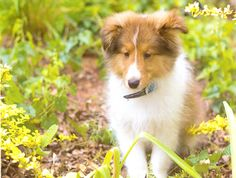 Shelties, Sheltie Puppies, Shelties For Sale - Lovable Shelties For Sale - Makes a Great Family Pet!