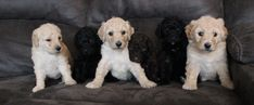 We raise & breed high quality Standard Poodles. Www.fishburnhomestead.com Giant Schnauzer, Standard Poodles, Puppies For Sale, Homestead, Teddy Bear, Dogs, Animals, Animales, Animaux